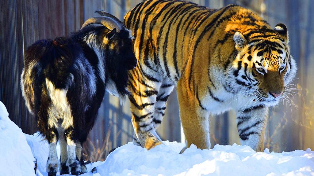 El tigre i la cabra